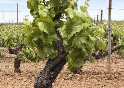 16018758 - old vines in the flowering season, borba, alentejo, portugal