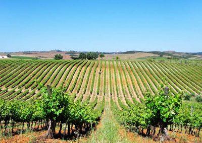 Vineyard at Alentejo, Portugal.